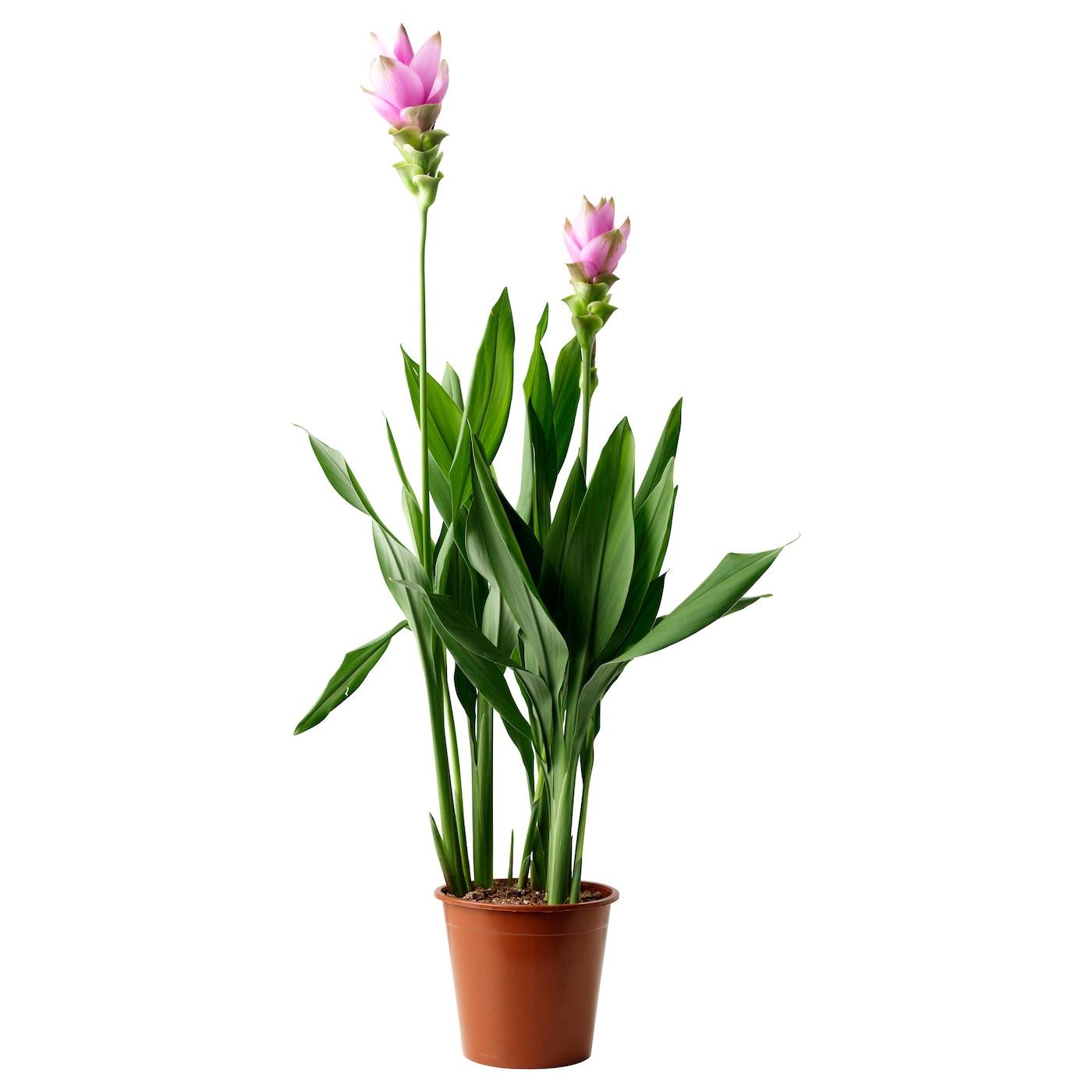 CURCUMA Potted Plant Siam Tulip/pink 17 Cm