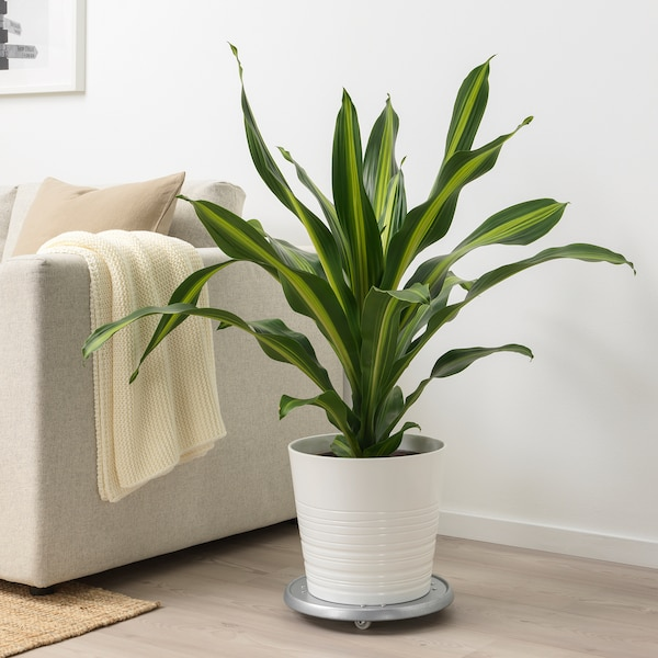 DRACAENA BURLEY Potted plant, 24 cm