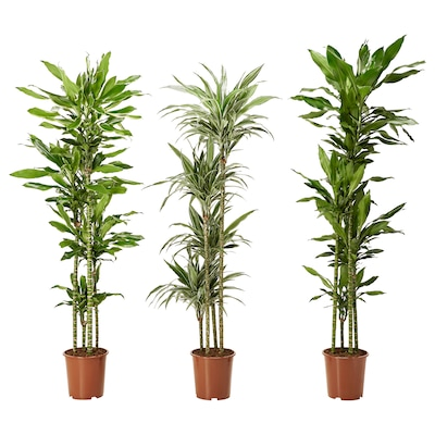 DRACAENA DEREMENSIS Potted plant, assorted, 27 cm