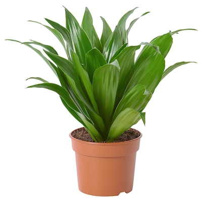 DRACAENA FRAGRANS 'COMPACTA' Potted plant, 9 cm
