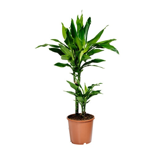 DRACAENA JANET LIND Potted plant