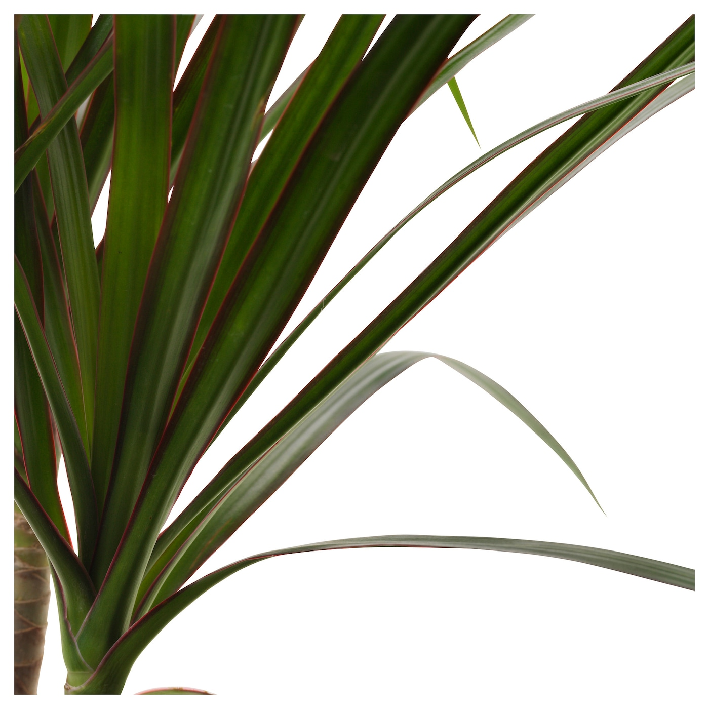 Dracaena marginata potted plant dragon tree 1 stem 10 5 cm for Dracaena marginata