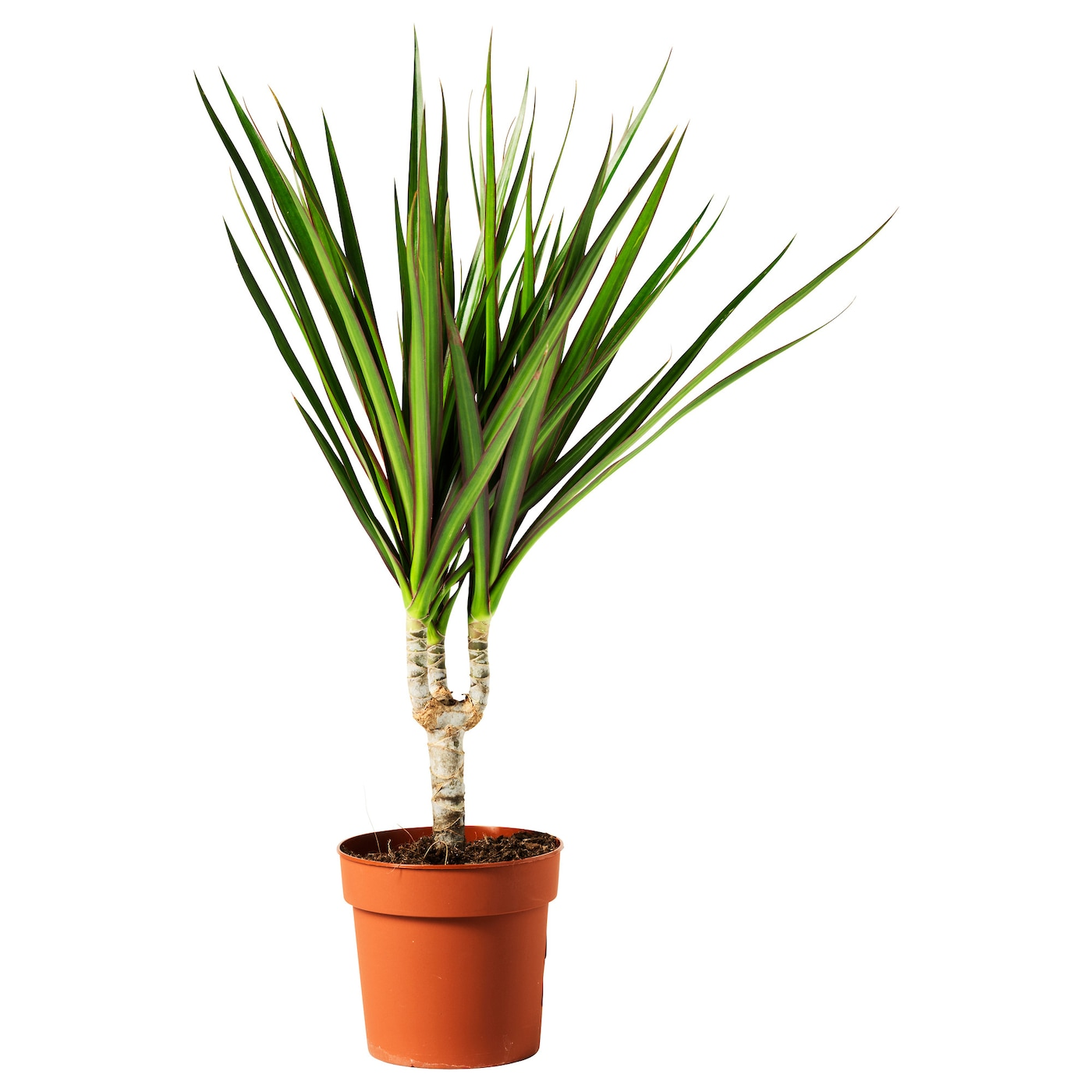 Dracaena marginata potted plant dragon tree 1 stem 10 5 cm for Plante dracaena
