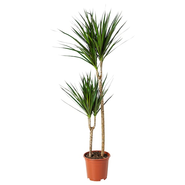 DRACAENA MARGINATA potted plant Dragon tree/2-stem 19 cm 120 cm