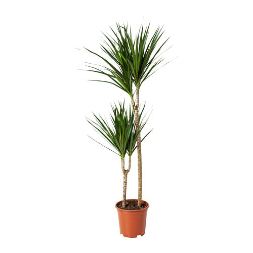 DRACAENA MARGINATA Potted Plant Dragon Tree2 stem 19 Cm