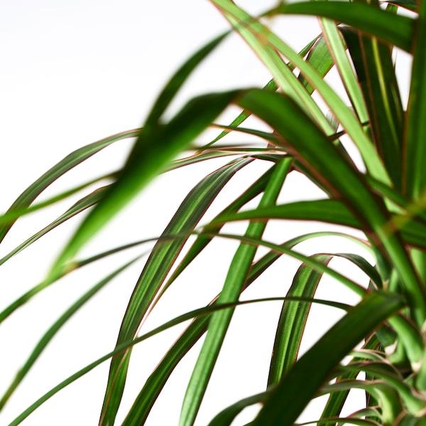 DRACAENA MARGINATA Potted plant, Dragon tree/2-stem, 19 cm