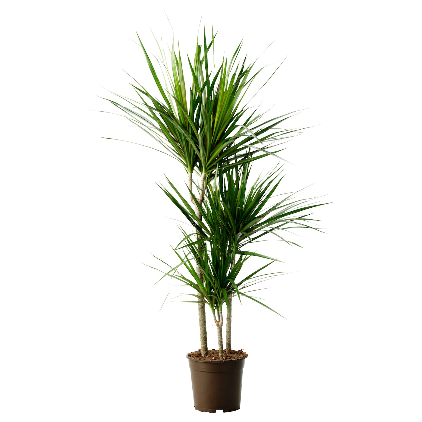 Dracaena marginata potted plant dragon tree 3 stem 21 cm for Dracaena marginata