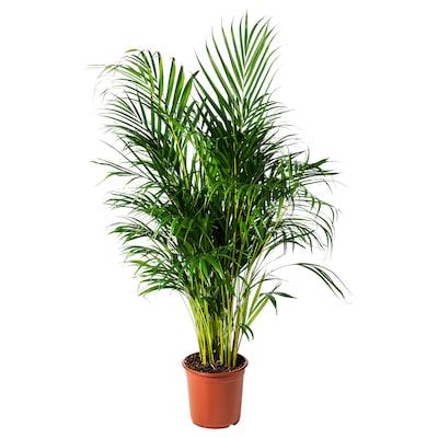 DYPSIS LUTESCENS potted plant Areca palm 24 cm 120 cm