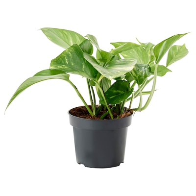 EPIPREMNUM Potted plant, Golden Pothos, 12 cm