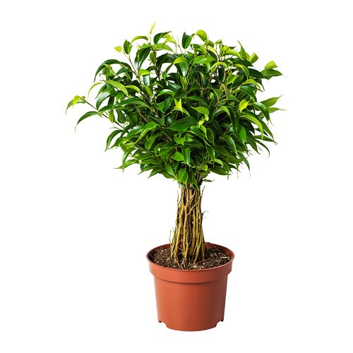 ficus benjamina 39 natasja 39 potted plant weeping fig 12 cm ikea. Black Bedroom Furniture Sets. Home Design Ideas
