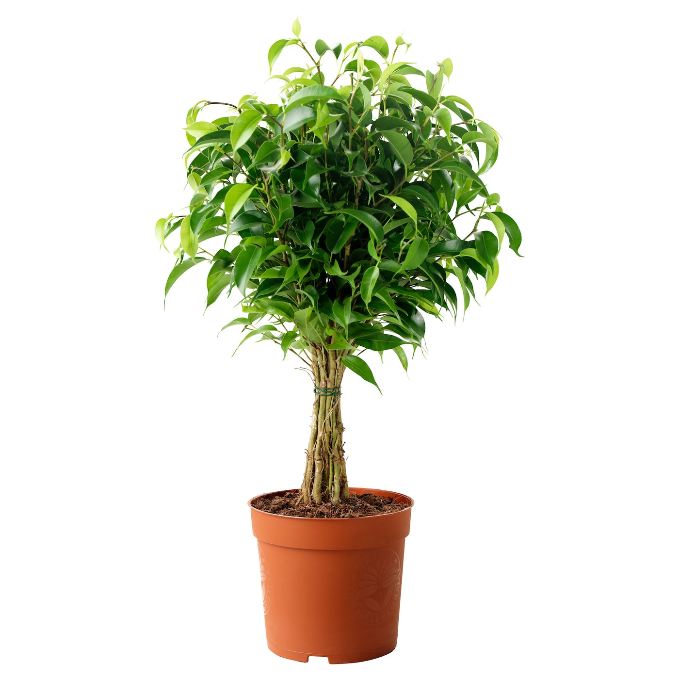 Home Decoration With Plants Ficus Benjamina Natasja Potted Plant Weeping Fig 12 Cm