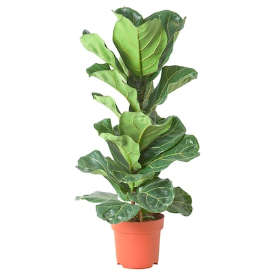 FICUS LYRATA Potted plant, fiddle-leaf fig, 21 cm
