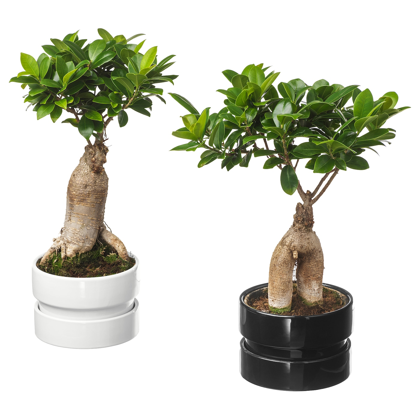 IKEA FICUS MICROCARPA GINSENG potted plant with pot