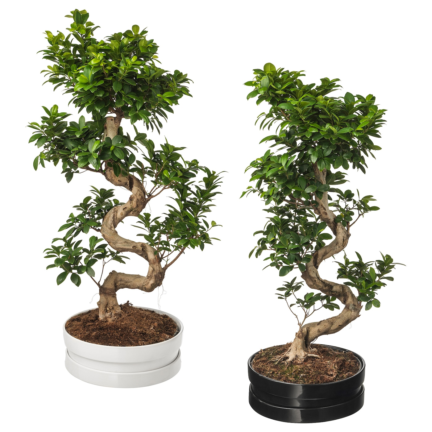 ficus microcarpa ginseng potted plant with pot bonsai assorted colours 39 cm ikea. Black Bedroom Furniture Sets. Home Design Ideas