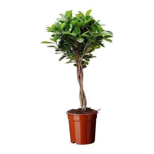 ficus microcarpa moclame potted plant 17 cm ikea. Black Bedroom Furniture Sets. Home Design Ideas
