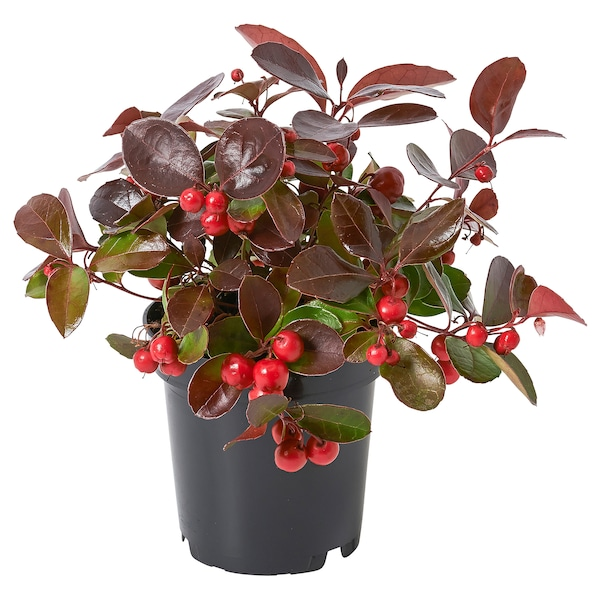 GAULTHERIA PROCUMBENS Potted plant, Wintergreen, 9 cm