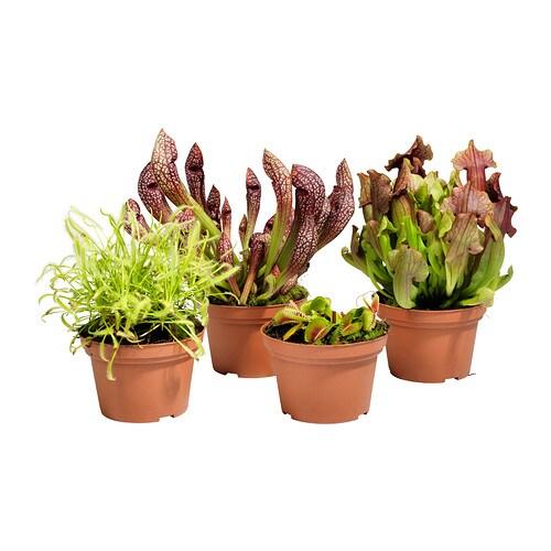 gr nskan potted plant carnivorous assorted 12 cm ikea. Black Bedroom Furniture Sets. Home Design Ideas