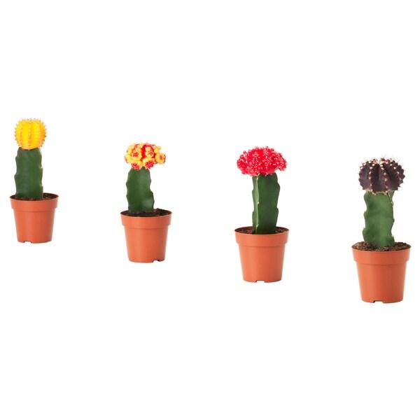 GYMNOCALYCIUM Potted plant, grafted cactus, 9 cm