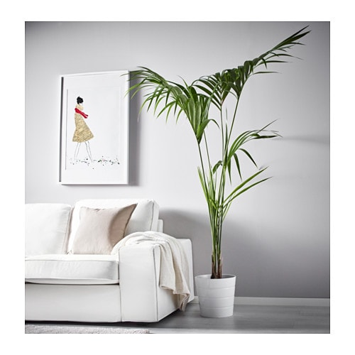 howea forsteriana potted plant kentia palm 24 cm ikea. Black Bedroom Furniture Sets. Home Design Ideas