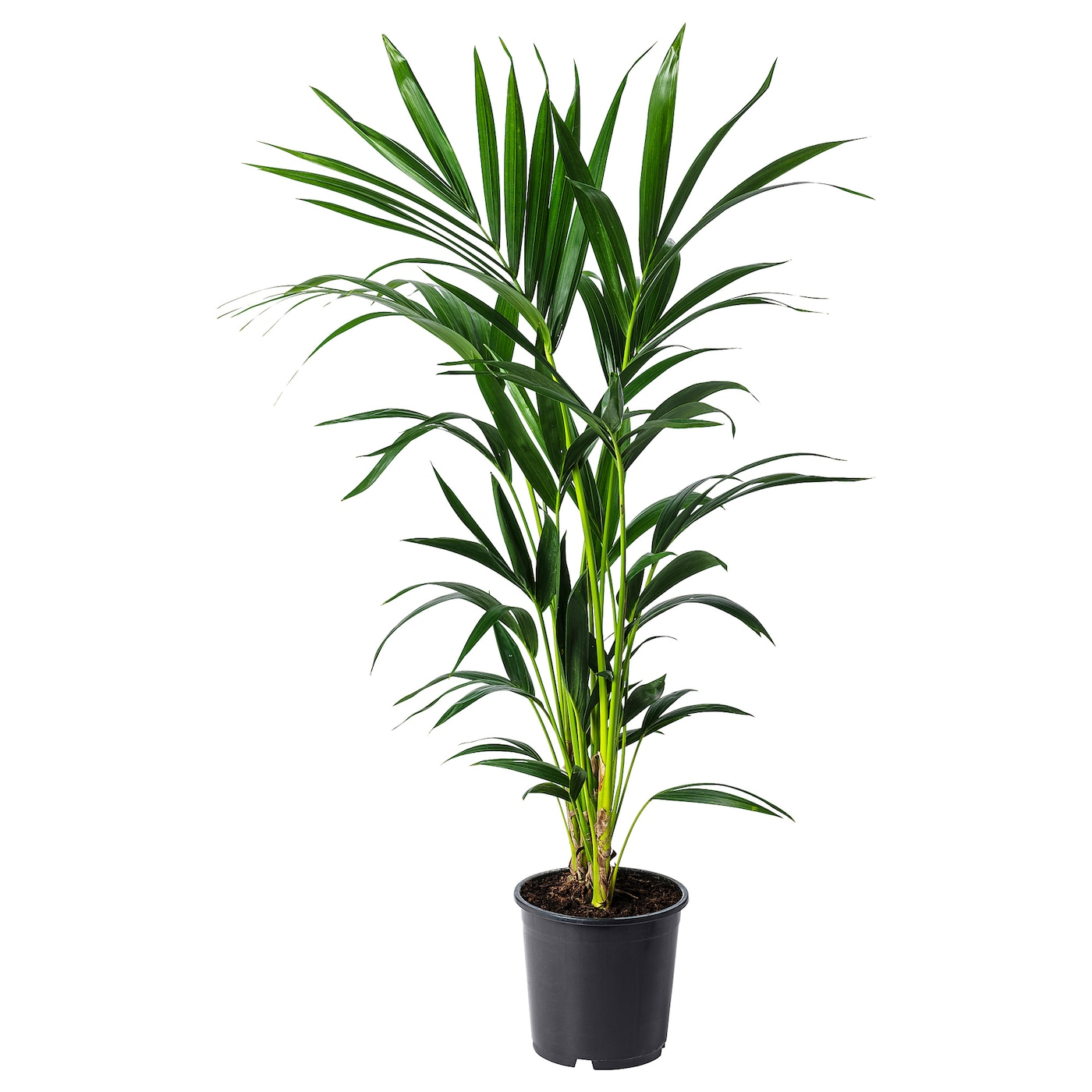 howea forsteriana potted plant kentia palm 19 cm ikea. Black Bedroom Furniture Sets. Home Design Ideas