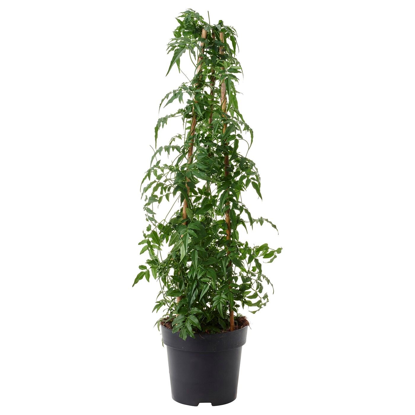 jasminum potted plant jasmine 17 cm ikea. Black Bedroom Furniture Sets. Home Design Ideas