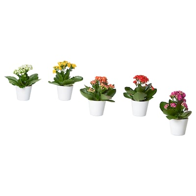 KALANCHOE Potted plant with pot, Flaming Katy assorted colours, 6 cm