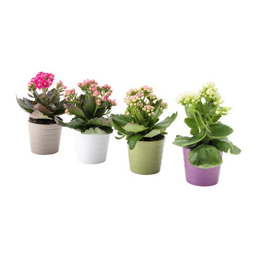 kalanchoe potted plant with pot kalanchoe assorted colours 6 cm ikea. Black Bedroom Furniture Sets. Home Design Ideas