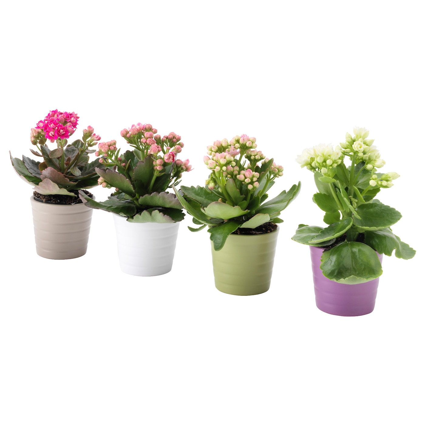 kalanchoe potted plant with pot kalanchoe assorted colours. Black Bedroom Furniture Sets. Home Design Ideas