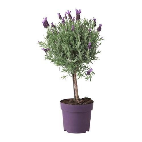 lavandula potted plant lavender stem 14 cm ikea. Black Bedroom Furniture Sets. Home Design Ideas