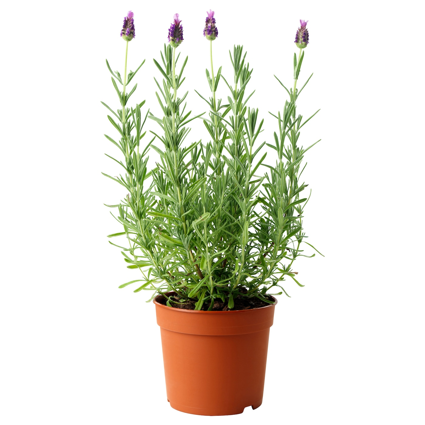 lavandula potted plant lavender 12 cm ikea. Black Bedroom Furniture Sets. Home Design Ideas