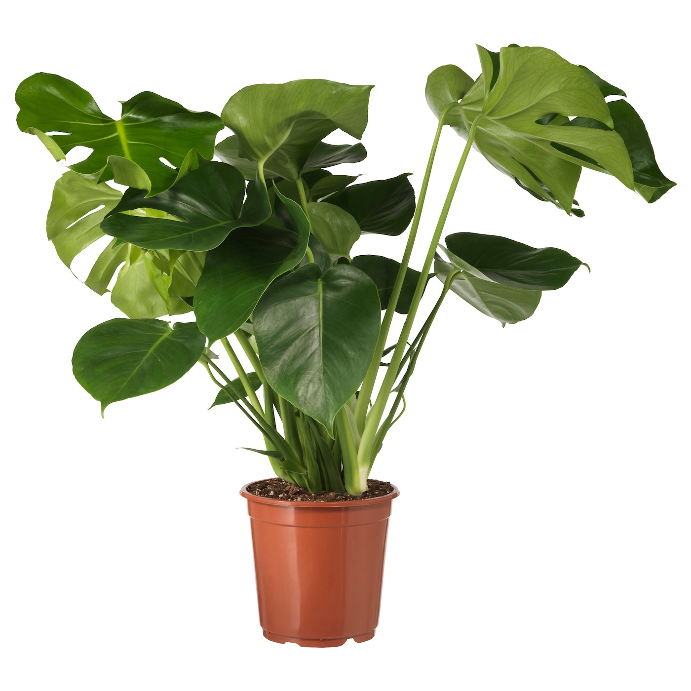 Monstera potted plant swiss cheese plant 21 cm ikea for Plante 90 cm