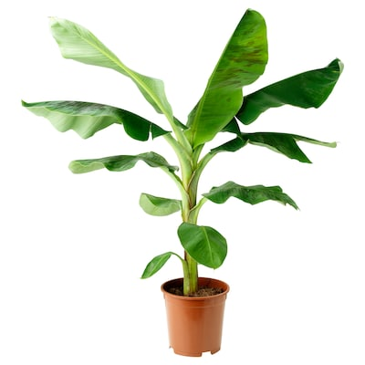 MUSA BANANA Potted plant, 21 cm