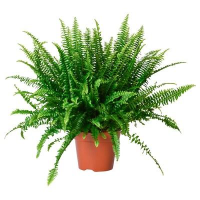 NEPHROLEPIS potted plant fern 17 cm 40 cm