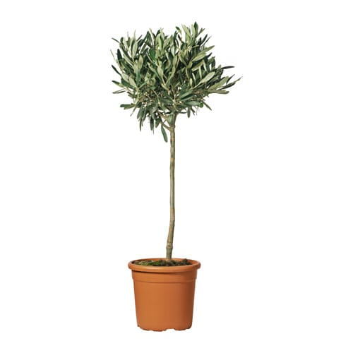 Olea europaea potted plant olive tree stem 33 cm ikea for Pruning olive trees in pots