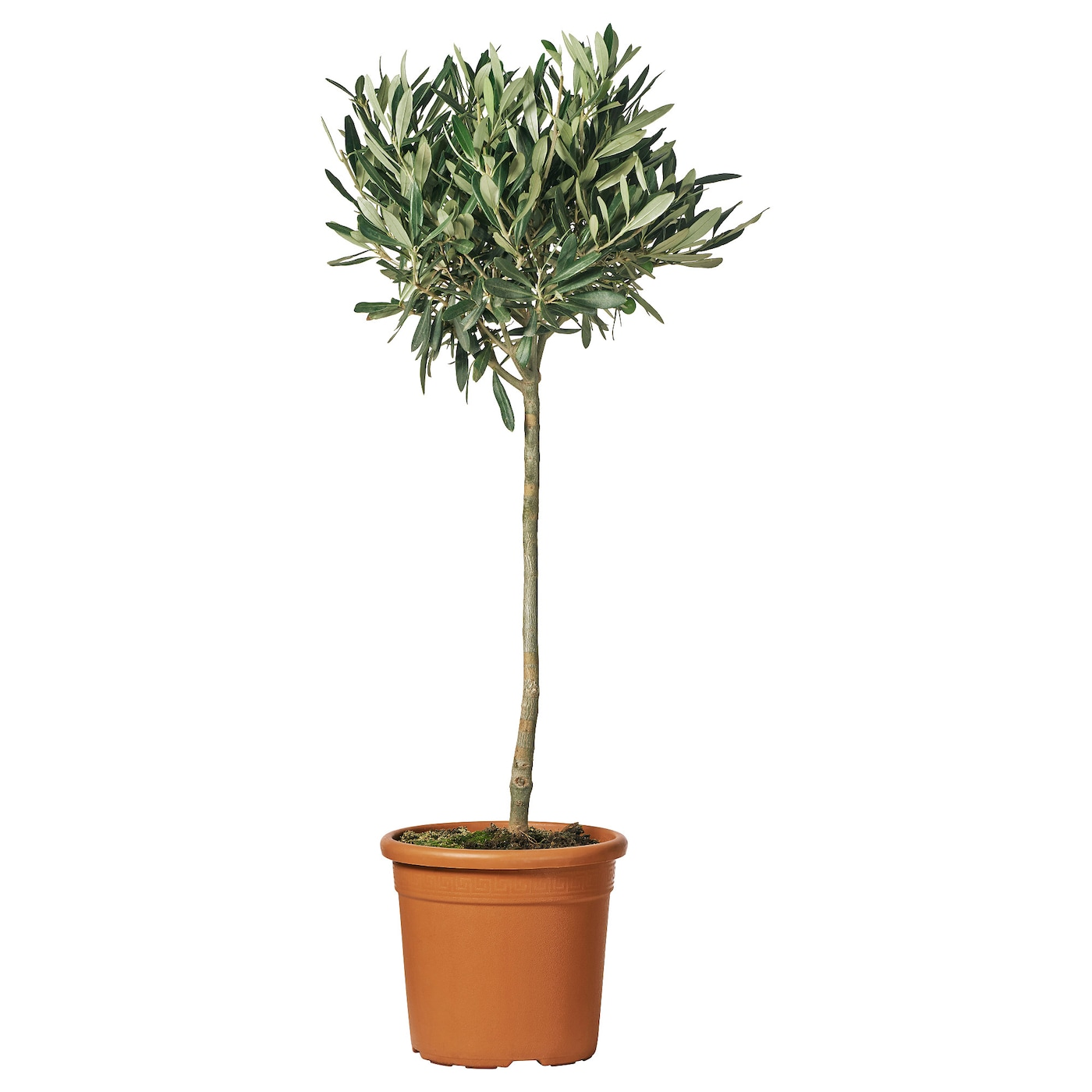 Decorate Your Home Online Olea Europaea Potted Plant Olive Tree Stem 33 Cm Ikea