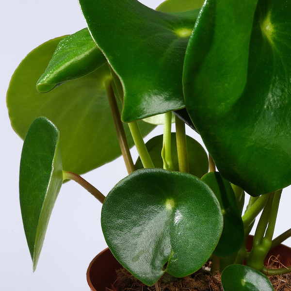 Peperomia Polybotrya Potted Plant Ikea