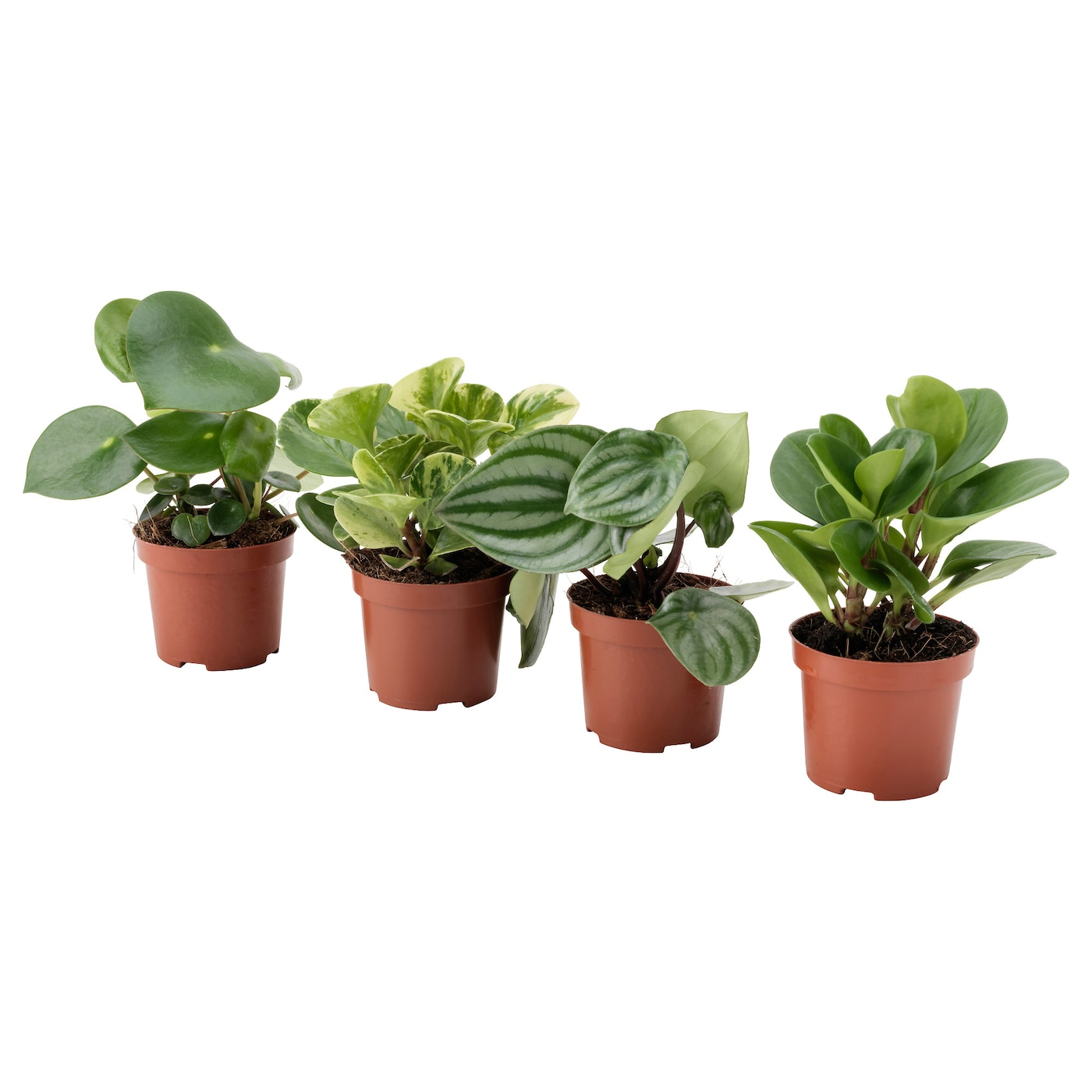 Peperomia potted plant assorted 9 cm ikea for Ikea plantes