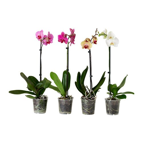 Phalaenopsis Potted Plant Orchid 1 Stem Assorted Colours