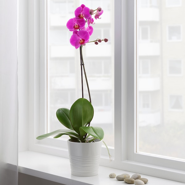 PHALAENOPSIS Potted plant, Orchid/1 stem assorted colours, 12 cm