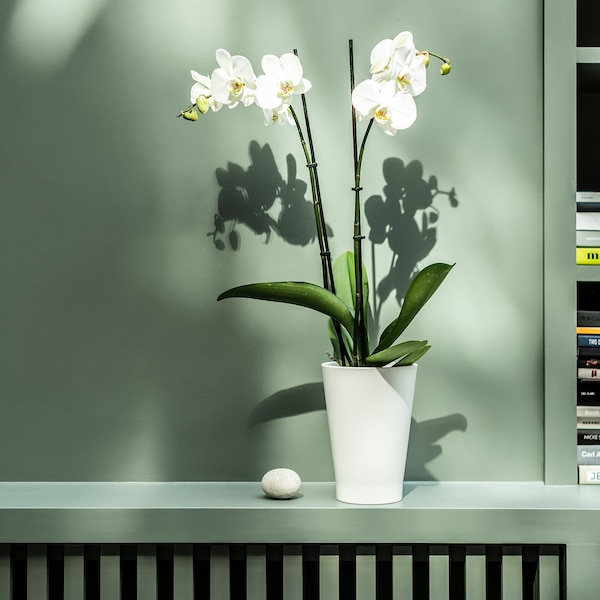 PHALAENOPSIS Potted plant, Orchid/2 stems, 12 cm