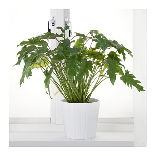 IKEA PHILODENDRON XANADU potted plant