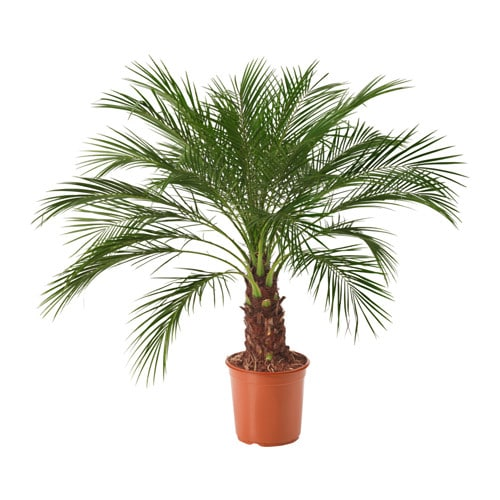 phoenix roebelenii potted plant pygmy date palm 24 cm ikea. Black Bedroom Furniture Sets. Home Design Ideas