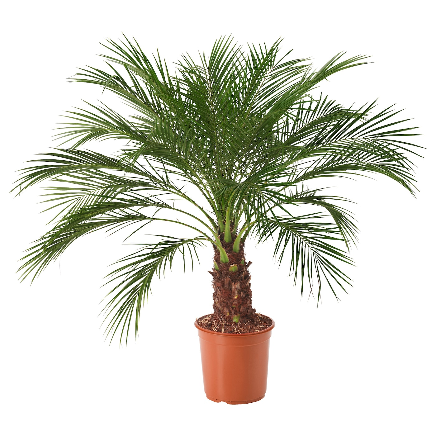 Phoenix roebelenii potted plant pygmy date palm 24 cm ikea for Plante en pot