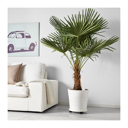 Phoenix roebelenii potted plant pygmy date palm 24 cm ikea for Scalette ikea