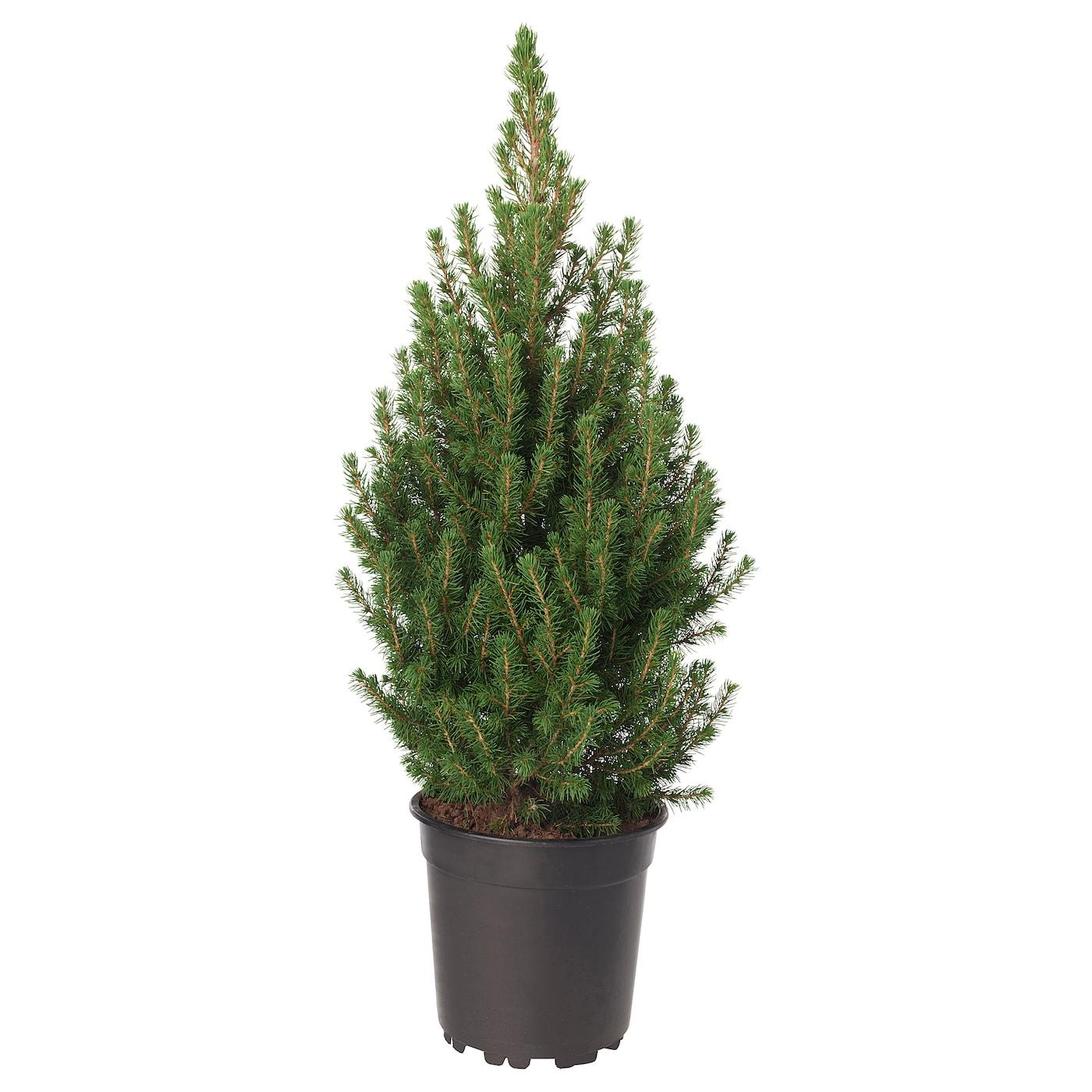 PICEA GLAUCA CONICA Potted plant White spruce 19 cm - IKEA