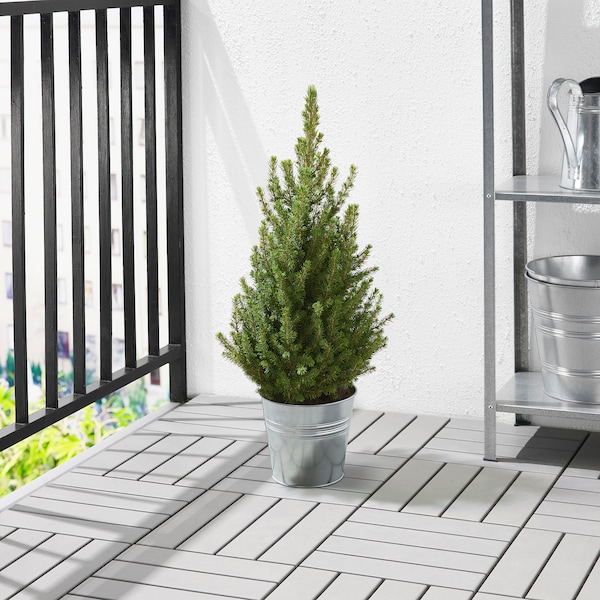 PICEA GLAUCA CONICA Potted plant, White spruce, 19 cm