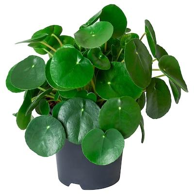 PILEA PEPEROMIOIDES Potted plant, Pilea, 14 cm