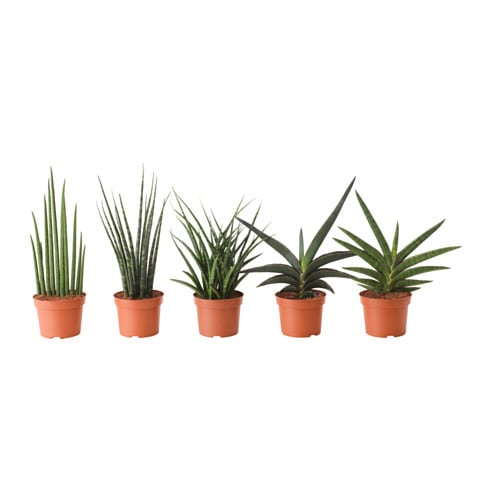 Sansevieria Potted Plant Assorted 12 Cm Ikea