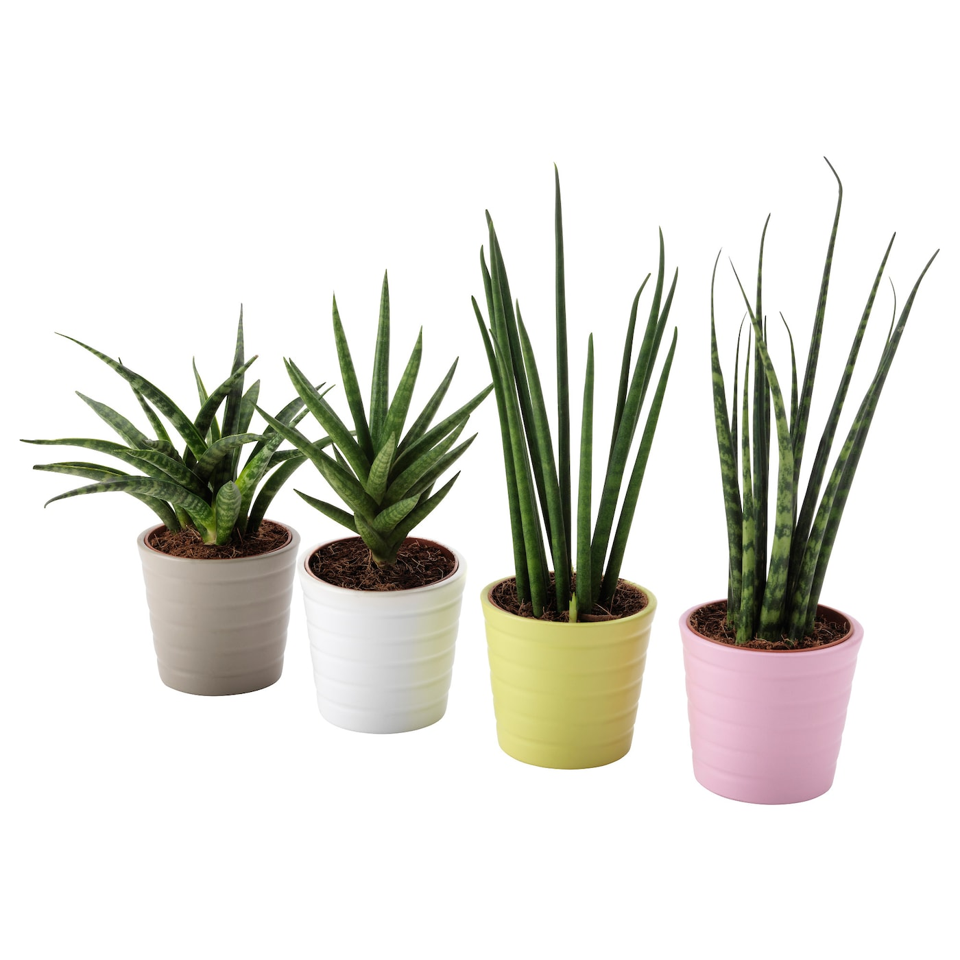 sansevieria potted plant with pot snake plant assorted colours 6 cm ikea. Black Bedroom Furniture Sets. Home Design Ideas