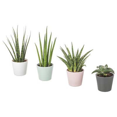 SANSEVIERIA Potted plant with pot, Snake plant assorted colours, 6 cm